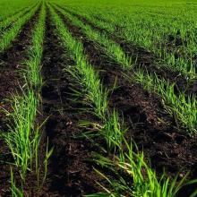 Black oat (Avena strigosa)