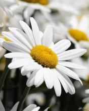 Bisabolol - chamomile flower