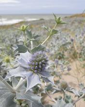 Celtusome™ Eryngium - sea holly