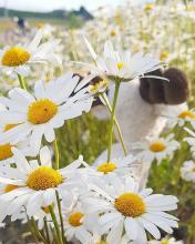 Chamomille Flower