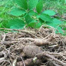 Ginseng (Panax roots)