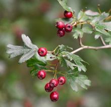 Hawthorn fruit