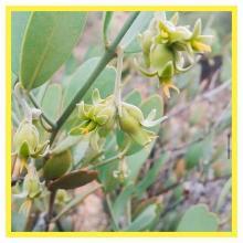 Buxus Chinensis