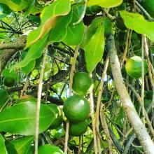 Macadamia tree and fruits