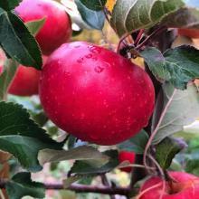 Malus Domestica (Swiss Apple)