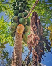Papaya tree (papain)