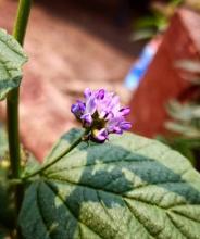 Psoralea Corylifolia
