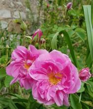 Damask rose - Rosa damascena