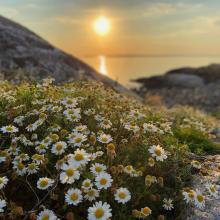 Sea Mayweed (Tripleurospermum maritimum)