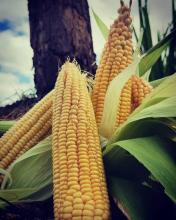 Zea Mays (corn)