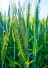 Triticum aestivum - Common wheat